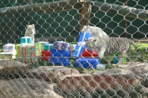 Tigers eagerly open presents
