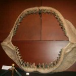 shark_teeth