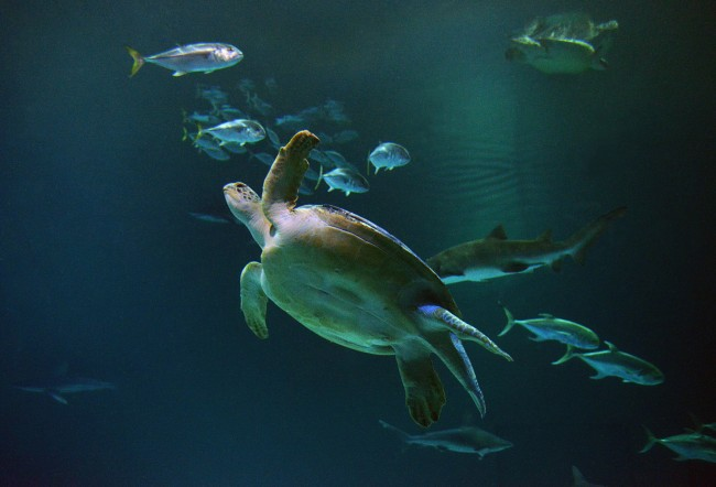 OD the sea turtle at Shark Reef Aquarium. 10-3-13. Darrin Bush photo.