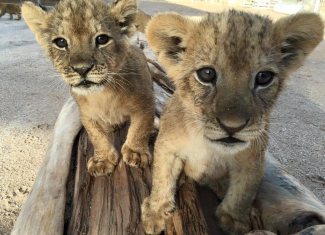 "Insert obligatory ""awwww"" here. Photo courtesy of the Lion Habitat Ranch."