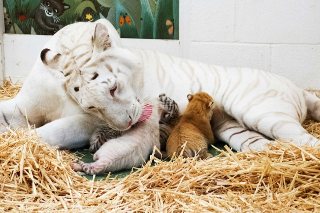 Siegfried & Roy welcome four tiger cubs